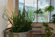 ミルクブッシュ モデルハウス植物
